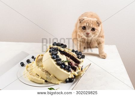 Naughty Cat With Broken Cake. Punishment And Regret. Bad Luck. Cute Scottish Fold Cat. Rogue. Happy