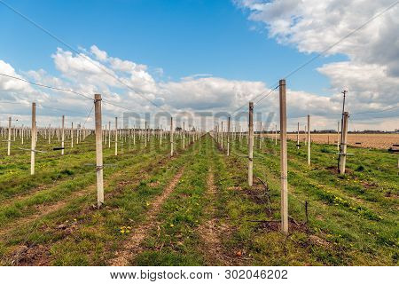 Concrete Poles In A Still Empty Dutch Orchard. The Old Apple Trees Have Been Removed And The New Tre