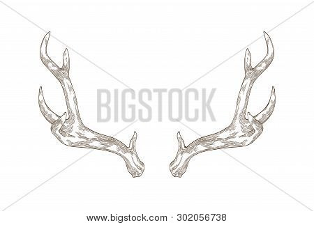 Monochrome Drawing Of Deer, Stag Or Hart Antlers Isolated On White Background. Part Of Forest Animal