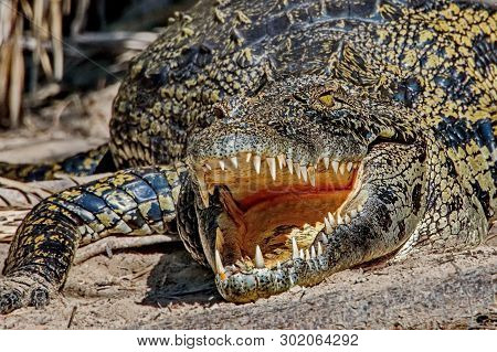 Teeth Of The Crocodile. Teeth Of A Crocodile. Crocodiles (lat. Crocodilia) Are Large Aquatic Reptile