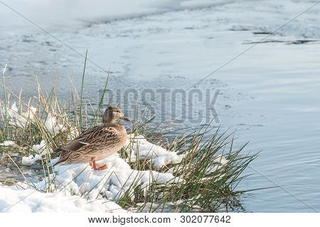 Female Duck On A Snow Covered Riverbank