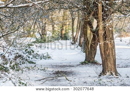 Background Of Snow Covered Winter Woodland And Foliage