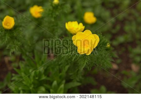 Blooming Yellow Flowers Adonis In Spring Forest In Early Spring, The Background Is Blurred.