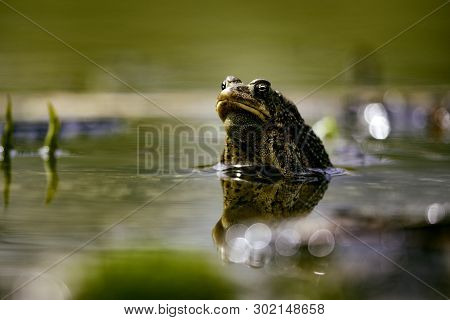Wildlife Amphibians Malden Park Pond American Toad Eye Level
