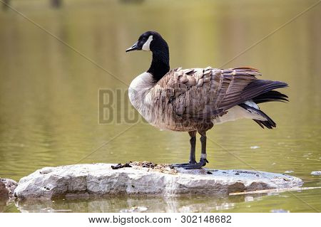 Wildlife Birds Canadian Canada Goose Standing Blue Pond Afternoon
