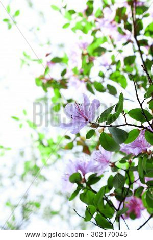 Spring Blossom Background In Beautiful Blue Tones With Bokeh Lights. Blooming Tree Flowers In Pink S