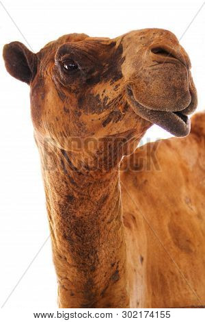 Camel Head Isolated On A White Background