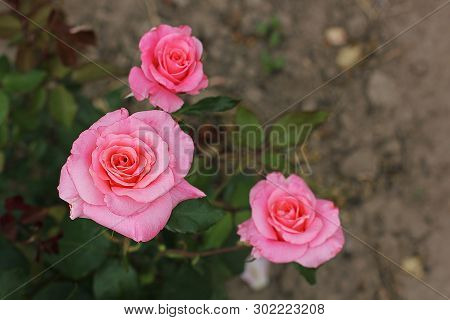 Beautiful Roses Close Up. Pink Roses In The Garden