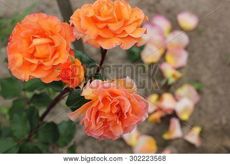 Beautiful Roses Close Up. Orange Roses In The Garden