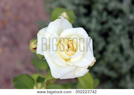 Beautiful Roses Close Up. White Roses In The Garden