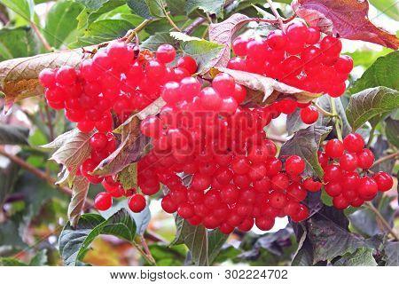 Beautiful Red Viburnum. Bunches Of Viburnum. Red Bright Berries