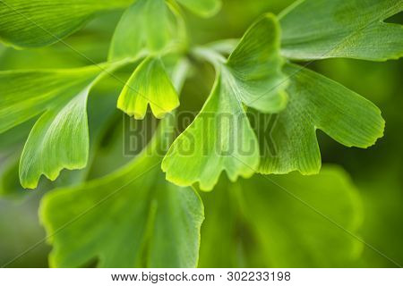 Gingko Biloba Leaves In Nature With Sunshine.green Leaves Of Dingo Tree.