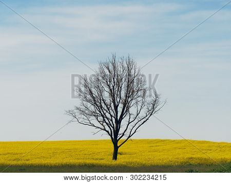 Lone Bare Tree In A Yellow Field Against The Sky