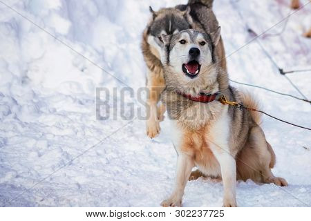 Close Up Playful Husky Dogs Used For Sledding In Snowy Russian City