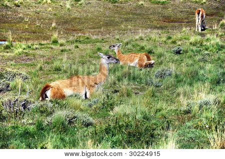 Guanacoes (Lama guanicoe) in Patagonia