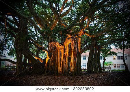 Beautiful Banyan Tree In Venice At Sunset. Florida, Usa