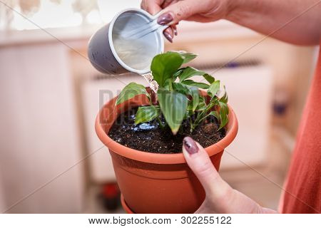 Care Of Home Plants. Woman Watering Flower From A Cup.