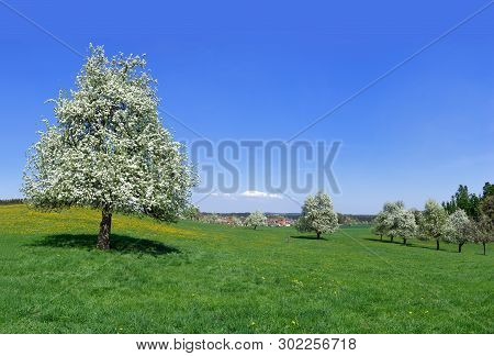 Big Flowering Pear Tree In The Foreground And Other Flowering Fruit Trees In A Large Meadow Near A V