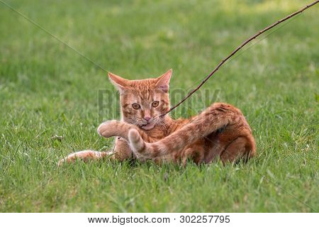 Red Cat In The Meadow Playing A Twig