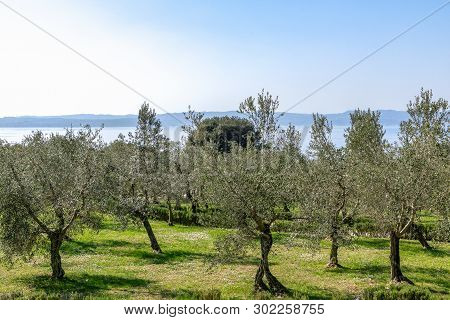 Beautiful View Of The Olive Grove On The Shore Of Lake Garda. Sirmione, Italy
