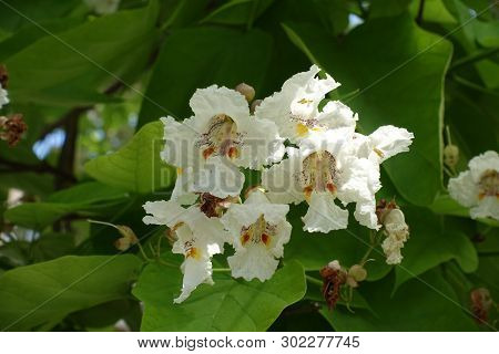 Close View Of White Flowers Of Catalpa