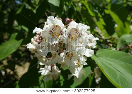 Cluster Of White Flowers Of Catalpa Tree