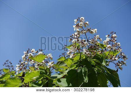 Crown Of Flowering Catalpa Tree Against Blue Sky