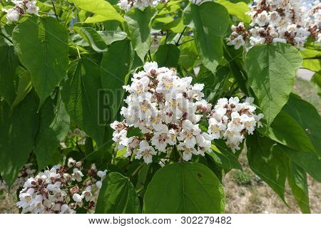 Green Leaves And White Flowers Of Catalpa
