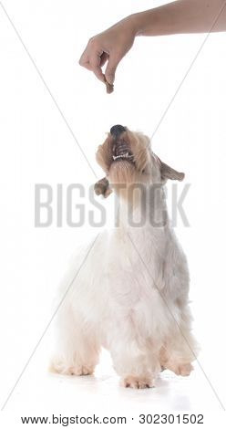female sealyham terrier puppy isolated on white background