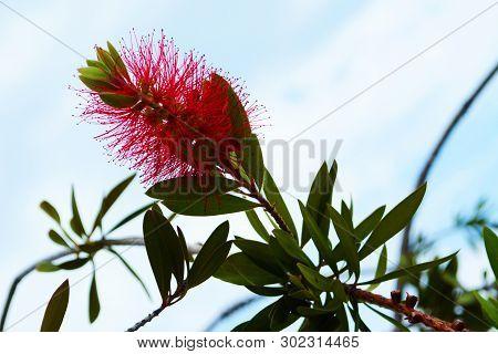 Melaleuca Citrina, Commonly Known As Common Red, Crimson Or Lemon Bottlebrush Is An Australian Nativ
