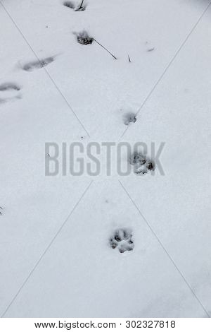 Foot Prints Of A Dog Or A Wolf On The White Snow