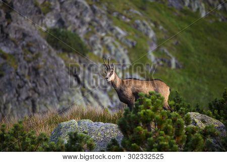 Wild Animal:  Chamois , Kamzik ( Rupicapra Rupicapra ) , Species Of Goat-antelope In Tatra Mountains