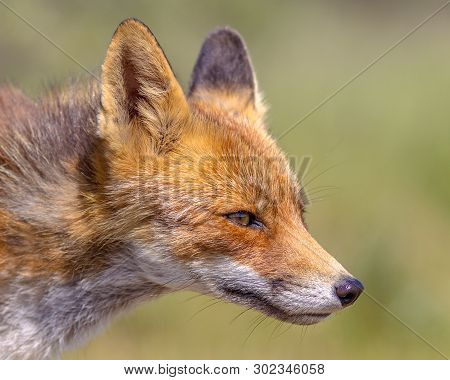 Red Fox (vulpes Vulpes) Portrait With Bright Green Background. This Beautiful Wild Animal Of The Wil