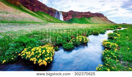 Picturesque panoramical landscape with beauty yellow flowers on Seljalandfoss waterfall on Seljalandsa river, Iceland, Europe
