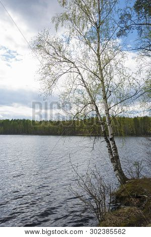 Two Birch Trees With Young Green Leaves Bent Over The Water.