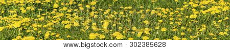 Panorama Of Yellow Dandelions On A Background Of Bright Green Grass.