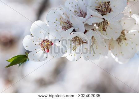 Spring. The First Flowers Of An Apricot Tree. Close-up. Delicate Petals