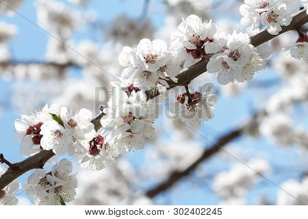 Spring Flowers Of Apricot Close Up On Sky Background
