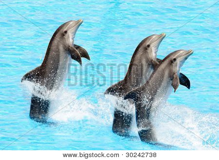 Three bottlenose dolphins performing a tail stand