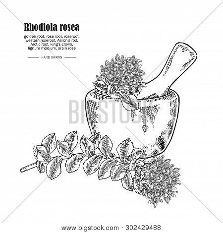 Rhodiola Rosea Branch And Wooden Bowl Isolated On White Background. Medical And Cosmetic Herbs. Vect