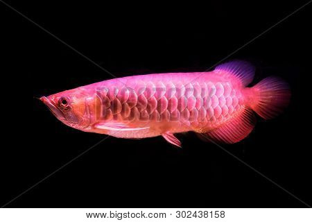 A Golden Red Tail Arowana Fish Isolated On Black Background.