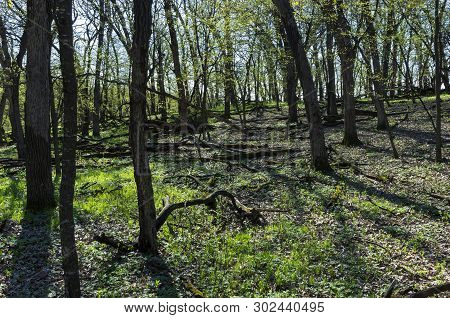 Inside Forest Thicket Along Bluffs At Flandrau State Park In New Ulm Minnesota