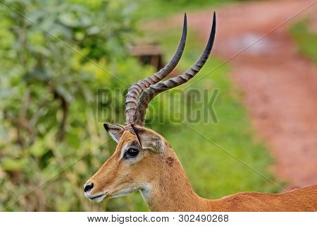 Pallah Antelope (aepyceros Melampus)-african Antelope Of Medium Size. One Of The Most Common Species