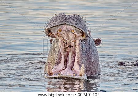 Portrait Of A Hippopotamus Floating On The Water. Hippopotamus (hippopotamus Amphibius), From The An