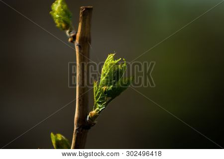 Trees And Flowers Grow In A Garden In The Spring. Green Buds On Branches From Leaves. Bunches. House