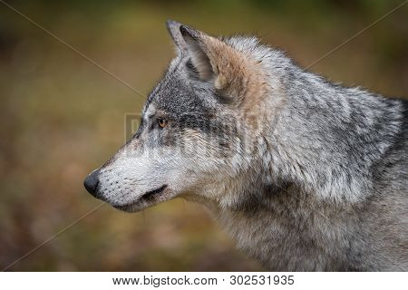 Grey Wolf (canis Lupus) Straight Left Profile Autumn