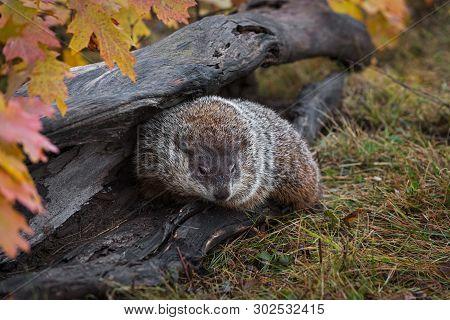 Woodchuck (marmota Monax) Turns In Log Autumn - Captive Animal
