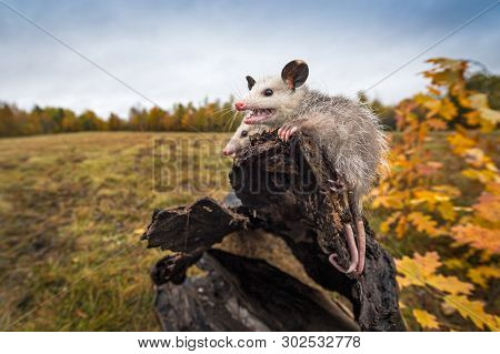 Opossum Joeys (didelphimorphia) Open Mouth At End Of Log Autumn - Captive Animals