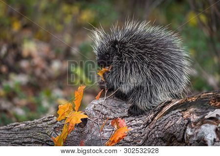 Porcupine (erethizon Dorsatum) Nibbles On Leaf On Log Autumn - Captive Animal