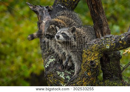 Raccoons (procyon Lotor) Look Up In Tree Autumn - Captive Animals